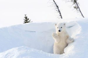 Polar Bear waving thanks from Pagosa Weather!
